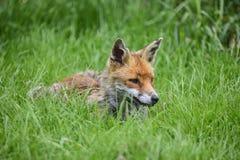 Overweldigend beeld van rode vos vulpes vulpes in weelderige de Zomercountrysi Stock Foto's