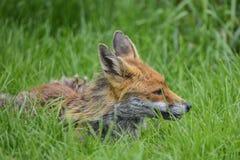 Overweldigend beeld van rode vos vulpes vulpes in weelderige de Zomercountrysi Stock Afbeeldingen