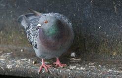 Overweldigend Feral Pigeon Columba Livia die zich op de richel van een brug bevinden stock afbeeldingen