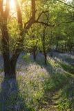 Overweldigend landschap van klokjebos in de Lente in Engelse telling Stock Foto
