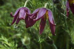 Overweldigend macrobeeld van Vulgaris bloem van Pulsatilla in bloei Stock Foto's