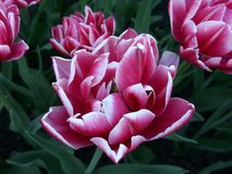 Overweldigend wit en roze Tulpenclose-up stock foto