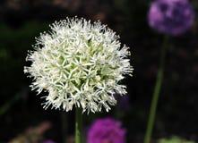 Overweldigend wit sferisch hoofd van Alliumstipitatum ?zet Everest ?met honderden kleine witte star-shaped bloemblaadjes op stock afbeelding
