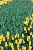 Overweldigende bloemtuin met heldere lemony gele die tulpen in weelderige groen van tuin worden geplooid stock fotografie