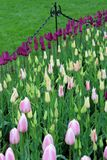 Overweldigende bloemtuin met heldere purpere en roze tulpen die in weelderige groen van tuin worden geplooid stock foto