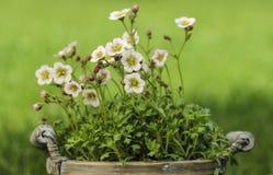 Overweldigende dianthusbloem in de tuin Stock Fotografie