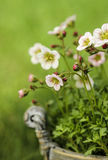 Overweldigende dianthusbloem in de tuin Royalty-vrije Stock Afbeelding
