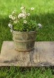 Overweldigende dianthusbloem in de tuin Royalty-vrije Stock Afbeeldingen