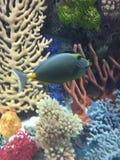 Overweldigende gezwollen tropische vissen royalty-vrije stock foto