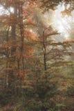 Overweldigende kleurrijke trillende levensechte mistige boslan van Autumn Fall stock foto's