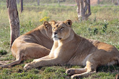 Overweldigende leeuwin Stock Foto's