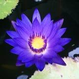Overweldigende lotusbloem Stock Foto's