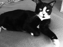 Overweldigende Mannelijke Zwart-witte Kat stock afbeeldingen
