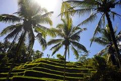 Overweldigende mening van mooi het eiland tropisch landschap van Bali met palmenwildernis en padieveldterras onder een zonsopgang royalty-vrije stock foto's