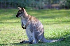 Overweldigende wallaby Royalty-vrije Stock Afbeelding