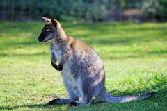 Overweldigende wallaby Stock Afbeelding