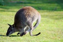 Overweldigende wallaby Royalty-vrije Stock Afbeeldingen