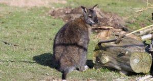 Overweldigende wallaby Royalty-vrije Stock Foto