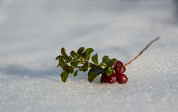 Overwintered  clusterberry on snow Stock Photography
