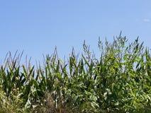 Overwoekerd het graangebied van de de zomerzon stock afbeelding