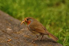 Overworked robin with mealworms stock photography