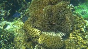 Overzees Anemone Actiniaria Underwater in Koh Tao, Thailand stock videobeelden