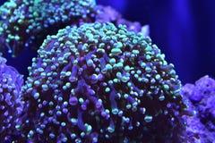 Overzees Anemone Marine Life stock foto