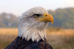 Overzees Eagle Stock Foto