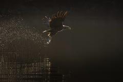Overzees Eagle Hunting Royalty-vrije Stock Afbeeldingen