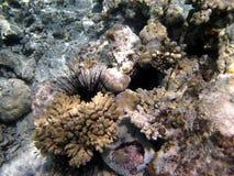 Overzees egel en koraalrif Royalty-vrije Stock Foto's