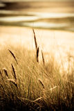 Overzees gras met strandachtergrond. Stock Foto