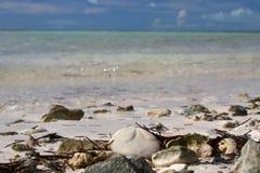 Overzees Koekje op een Bahama-Strand Stock Fotografie