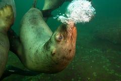 Overzees Lion Blowing Bubbles Underwater stock afbeeldingen