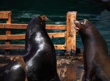 Overzees Lion San Francisco Bay Royalty-vrije Stock Afbeeldingen