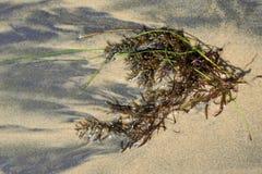 Overzees onkruid op het zandige strand Royalty-vrije Stock Afbeeldingen