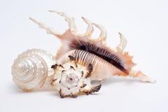 Overzees Shell Collection Royalty-vrije Stock Afbeeldingen