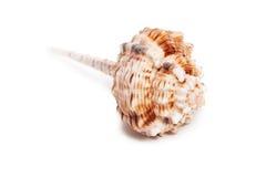 Overzees Shell op witte achtergrond Royalty-vrije Stock Afbeeldingen