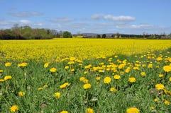 Overzees van gele Canola en een paar paardebloemen ook Stock Afbeeldingen