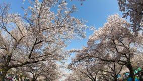 Overzees van het bloeien sakura van de kersenbloesem stock videobeelden