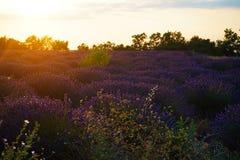 Overzees van Lavendel in Zuid-Frankrijk Stock Foto