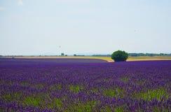 Overzees van Lavendel in Zuid-Frankrijk Stock Foto's
