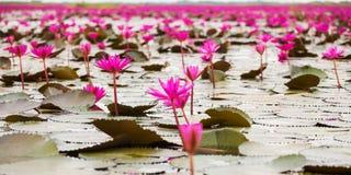 Overzees van rode lotusbloem, Marsh Red-lotusbloemoverzees van rode lotusbloem royalty-vrije stock afbeelding