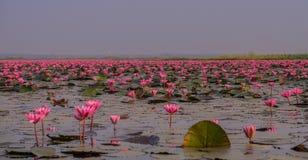 Overzees van rode lotuses in Thailand stock fotografie