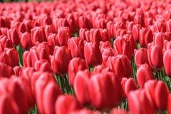 Overzees van rode tulpen in de zon Royalty-vrije Stock Foto's