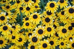 Overzees van zonnebloemen Royalty-vrije Stock Afbeeldingen