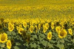 Overzees van zonnebloemen Stock Fotografie