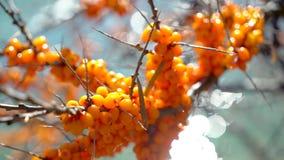 Overzees-wegedoorn Duindoornbossen op boom dichte omhooggaand op zonneschijnachtergrond van wateraard, Hippophae-rhamnoides Overz stock video