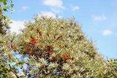Overzees-wegedoorn (rhamnoides Hippophae) Royalty-vrije Stock Afbeeldingen
