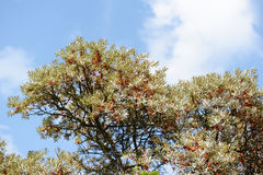 Overzees-wegedoorn (rhamnoides Hippophae) Royalty-vrije Stock Fotografie