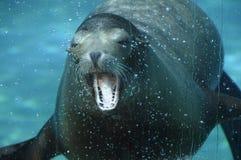 Overzeese ââlion die zijn mond opent onder water Royalty-vrije Stock Foto's